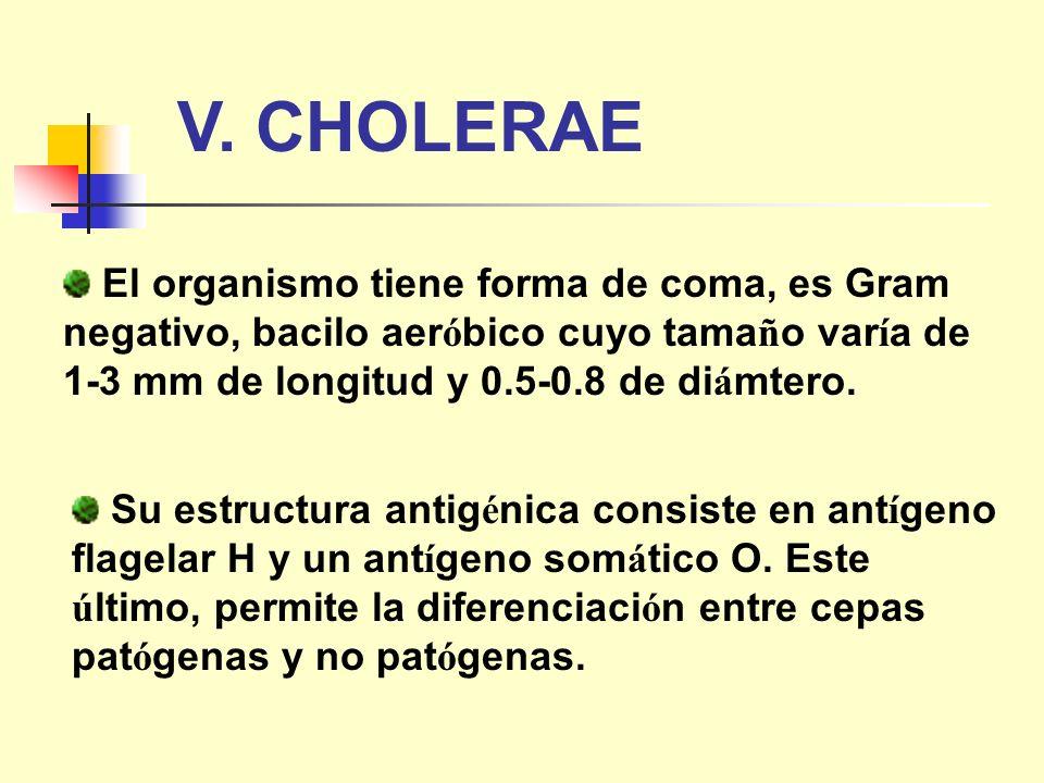El organismo tiene forma de coma, es Gram negativo, bacilo aer ó bico cuyo tama ñ o var í a de 1-3 mm de longitud y 0.5-0.8 de di á mtero. V. CHOLERAE