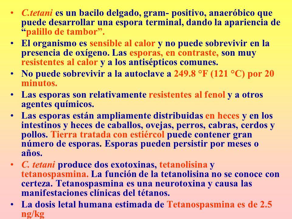 C.tetani es un bacilo delgado, gram- positivo, anaeróbico que puede desarrollar una espora terminal, dando la apariencia depalillo de tambor. El organ