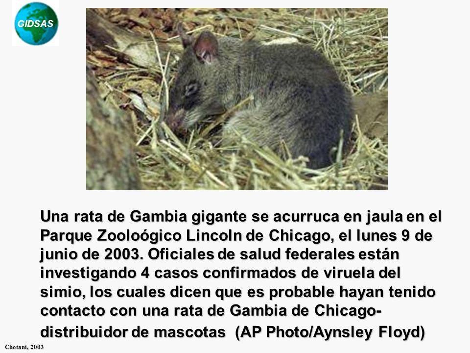 GIDSAS Chotani, 2003 Una rata de Gambia gigante se acurruca en jaula en el Parque Zooloógico Lincoln de Chicago, el lunes 9 de junio de 2003. Oficiale