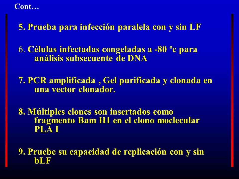 5. Prueba para infección paralela con y sin LF 6. Células infectadas congeladas a -80 ºc para análisis subsecuente de DNA 7. PCR amplificada, Gel puri
