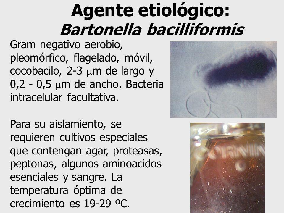 Agente etiológico: Bartonella bacilliformis Gram negativo aerobio, pleomórfico, flagelado, móvil, cocobacilo, 2-3 m de largo y 0,2 - 0,5 m de ancho. B