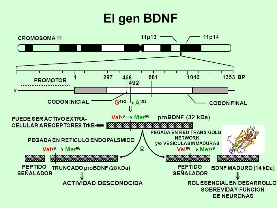 El gen BDNF 11p1411p13 CROMOSOMA 11 PROMOTOR 5´5´ 1 29710401353 BP CODON INICIAL CODON FINAL 681 468 492 G 492 A 492 Val 66 Met 66 PUEDE SER ACTIVO EX
