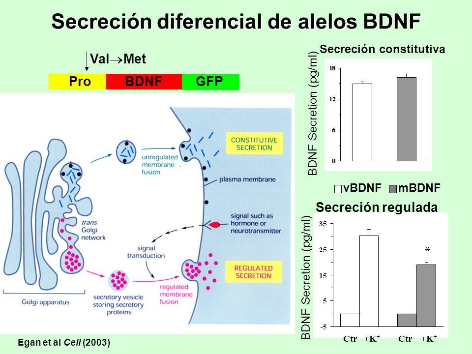 BDNF Secretion (pg/ml) Secreción constitutiva BDNF Secretion (pg/ml) Secreción regulada Ctr +K + * vBDNFmBDNF BDNFProGFP Val Met Egan et al Cell (2003