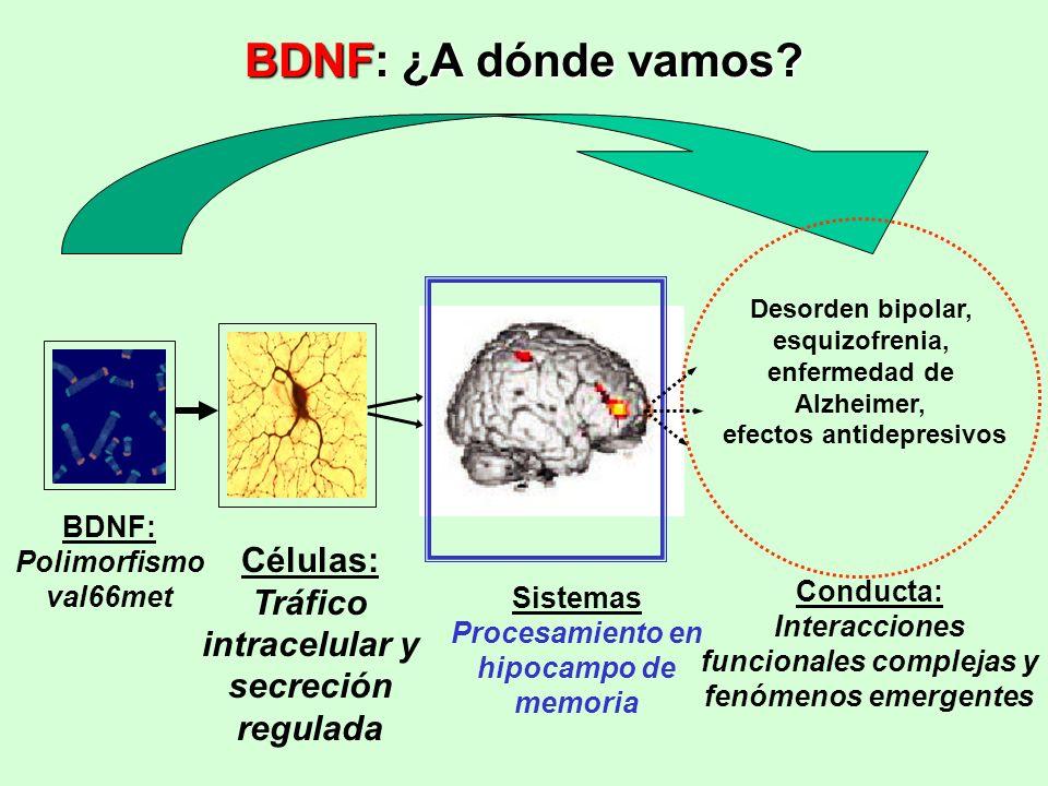 BDNF: Polimorfismo val66met Células: Tráfico intracelular y secreción regulada Sistemas Procesamiento en hipocampo de memoria Desorden bipolar, esquiz