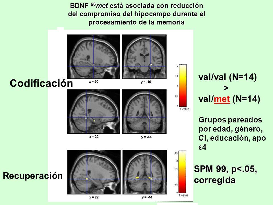 BDNF 66 met está asociada con reducción del compromiso del hipocampo durante el procesamiento de la memoria Codificación Recuperación val/val (N=14) >