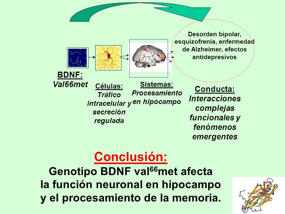 Conclusión: Genotipo BDNF val 66 met afecta la función neuronal en hipocampo y el procesamiento de la memoria. BDNF: Val66met Células: Tráfico intrace