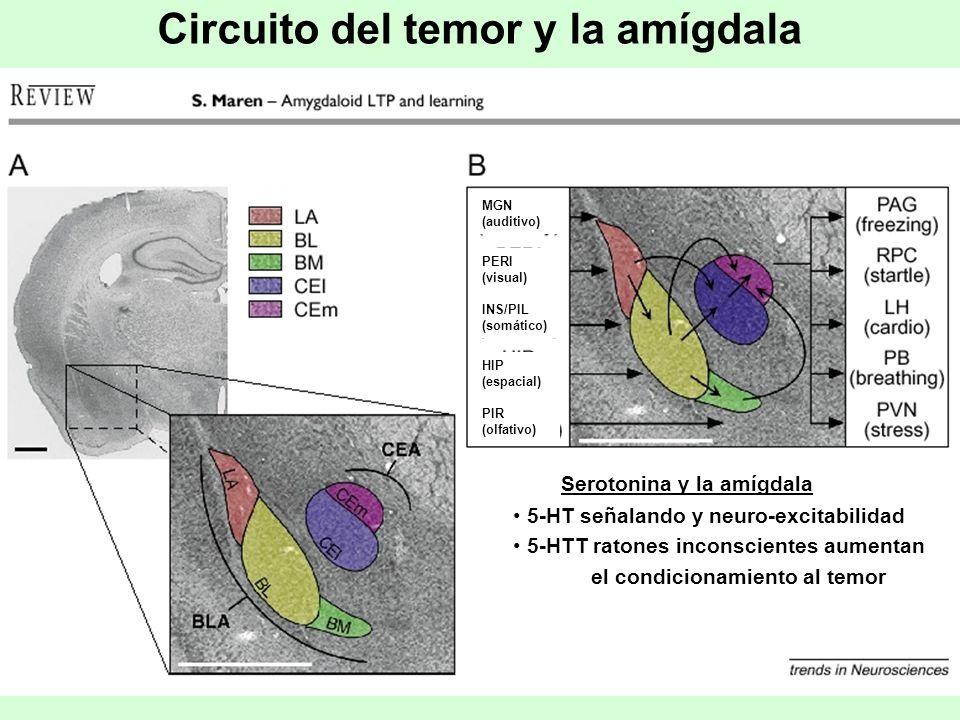 Circuito del temor y la amígdala Serotonina y la amígdala 5-HT señalando y neuro-excitabilidad 5-HTT ratones inconscientes aumentan el condicionamient