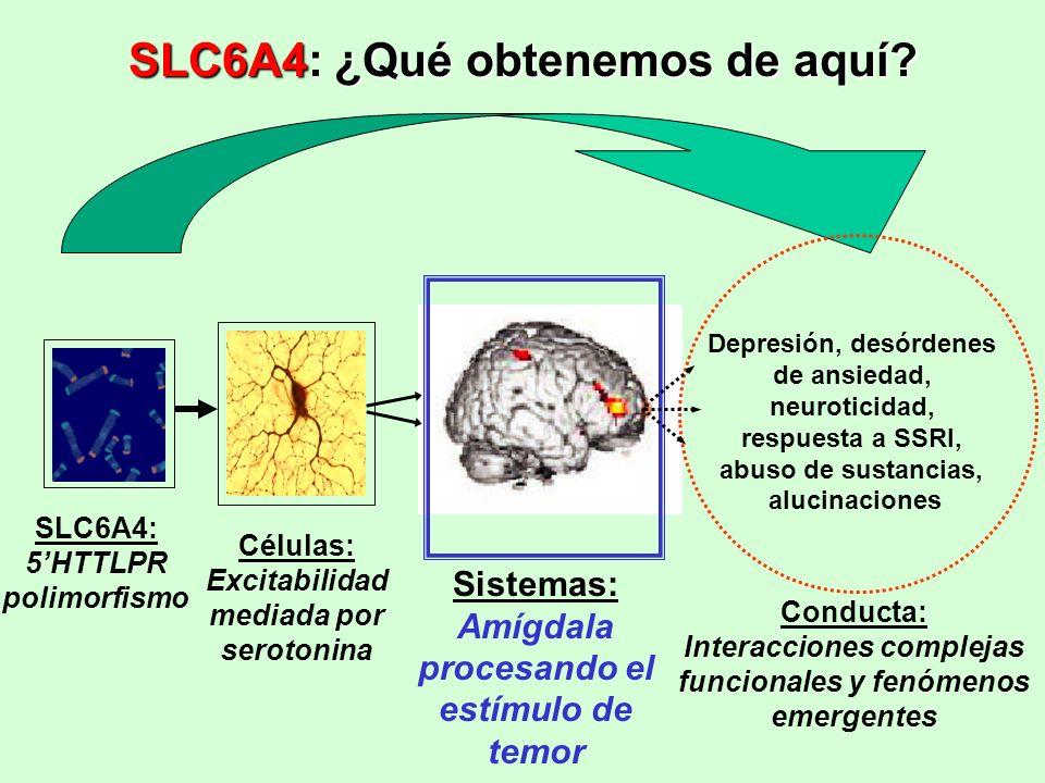 SLC6A4: 5HTTLPR polimorfismo Células: Excitabilidad mediada por serotonina Sistemas: Amígdala procesando el estímulo de temor Depresión, desórdenes de