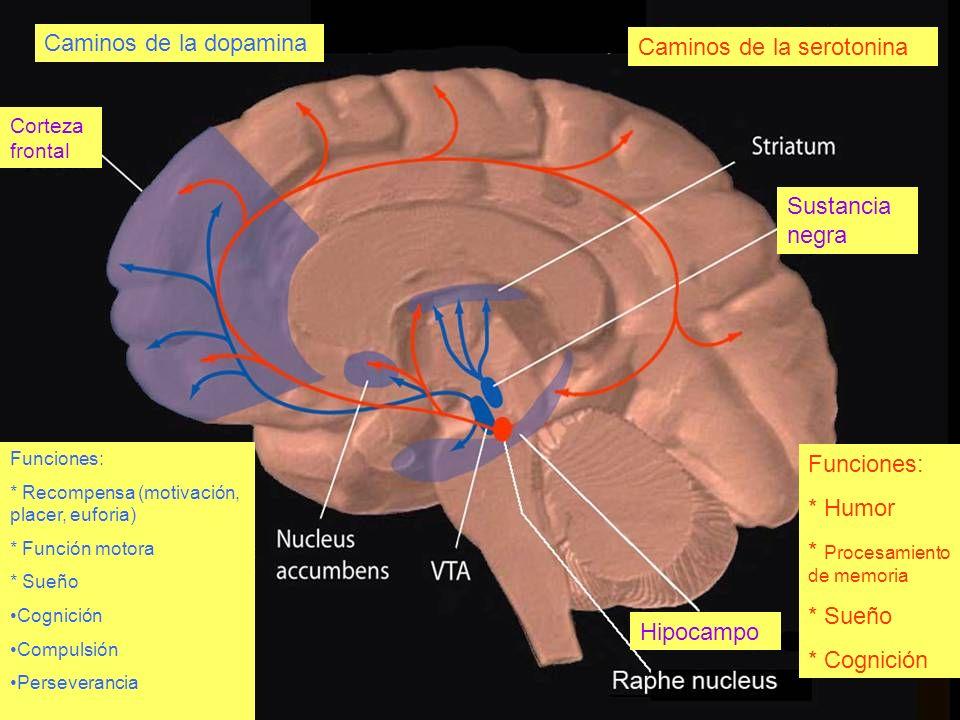 Caminos de la dopamina Caminos de la serotonina Funciones: * Humor * Procesamiento de memoria * Sueño * Cognición Corteza frontal Hipocampo Sustancia