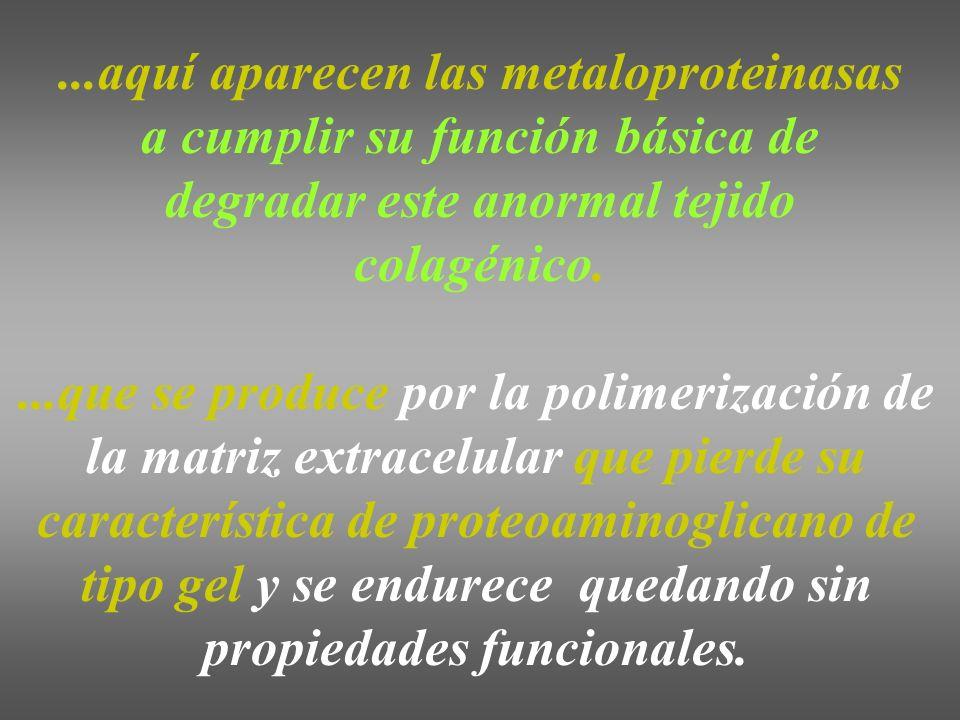 ...aquí aparecen las metaloproteinasas a cumplir su función básica de degradar este anormal tejido colagénico....que se produce por la polimerización