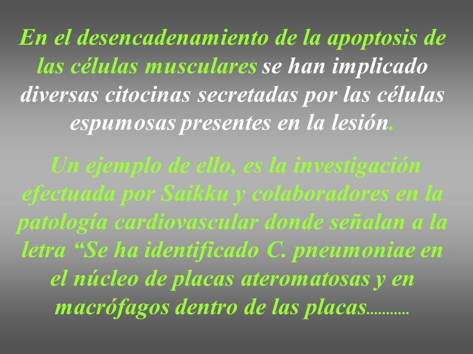 En el desencadenamiento de la apoptosis de las células musculares se han implicado diversas citocinas secretadas por las células espumosas presentes e