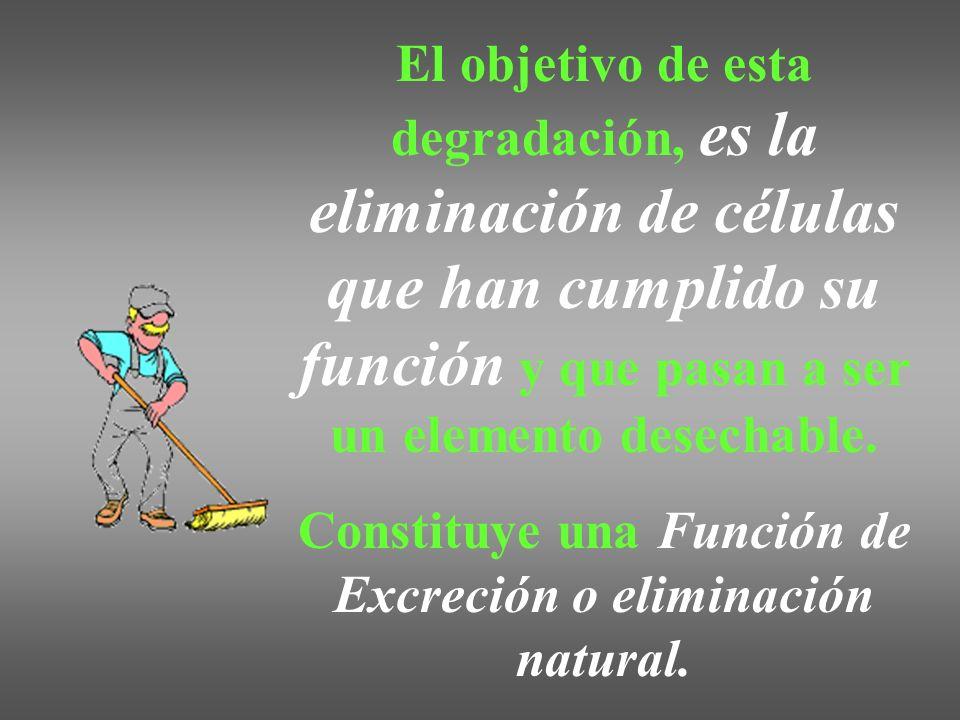 El objetivo de esta degradación, es la eliminación de células que han cumplido su función y que pasan a ser un elemento desechable. Constituye una Fun