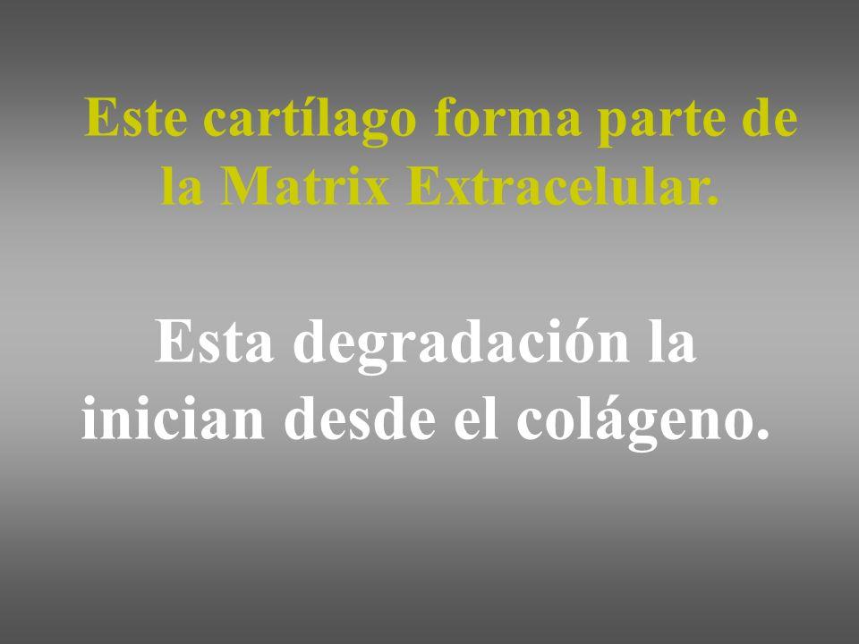 Este cartílago forma parte de la Matrix Extracelular. Esta degradación la inician desde el colágeno.