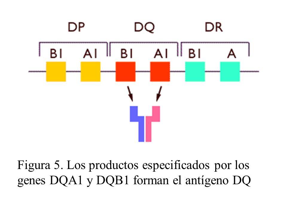 Figura 5. Los productos especificados por los genes DQA1 y DQB1 forman el antígeno DQ