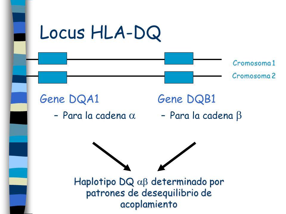 Locus HLA-DQ Gene DQA1 –Para la cadena Gene DQB1 –Para la cadena Cromosoma 1 Cromosoma 2 Haplotipo DQ determinado por patrones de desequilibrio de aco
