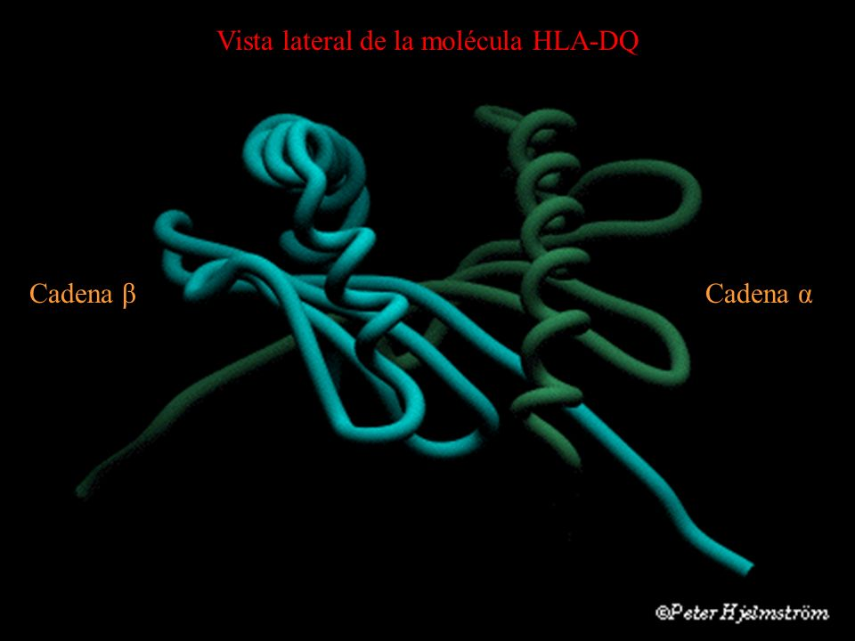Vista lateral de la molécula HLA-DQ Cadena βCadena α