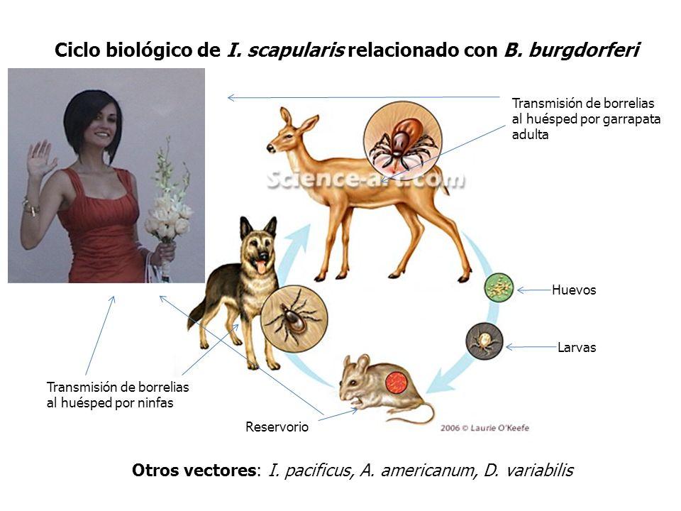 BORRELIOSIS: Enfermedad inflamatoria multisistémica Depresión, emaciación ClaudicaciónGarrapatas
