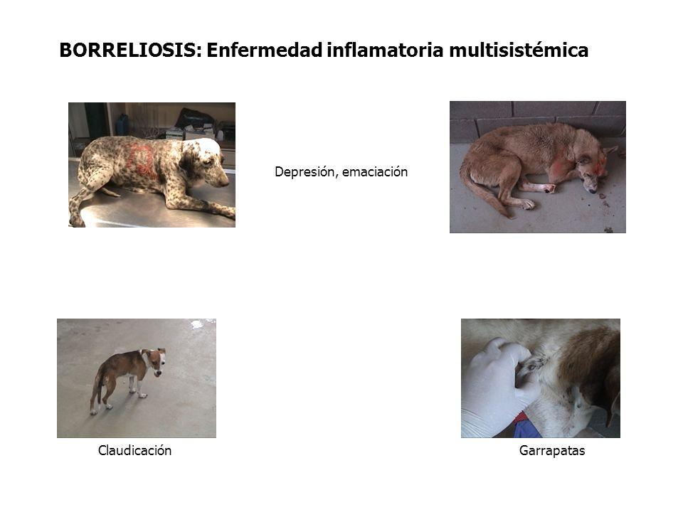 FACTORES DE RIESGO Perros de las clínicas veterinarias Parámetro X 2 P OR (95% IC ) Edad 5.2724 0.024.7 (1.1-20.6) Falta de programa preventivo7.8519 0.0054.9(1.4 -16.8)
