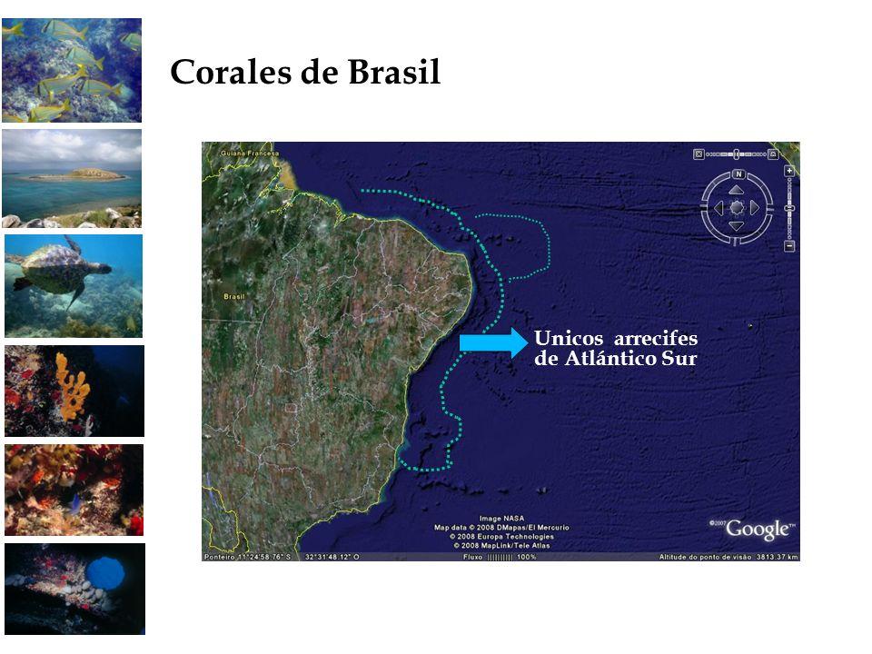 Corales de Brasil Unicos arrecifes de Atlántico Sur