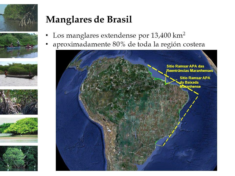 Manglares de Brasil Los manglares extendense por 13,400 km 2 aproximadamente 80% de toda la región costera Sítio Ramsar APA das Reentrâncias Maranhens