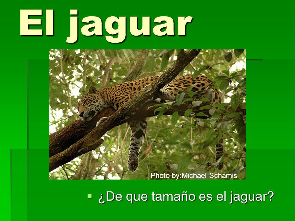 El jaguar ¿De que tamaño es el jaguar? ¿De que tamaño es el jaguar? Photo by:Michael Schamis