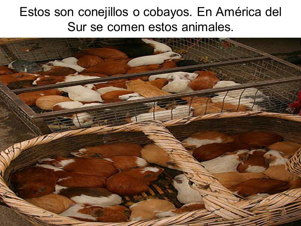 Estos son conejillos o cobayos. En América del Sur se comen estos animales.