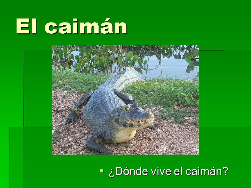 El caimán ¿Dónde vive el caimán? ¿Dónde vive el caimán?