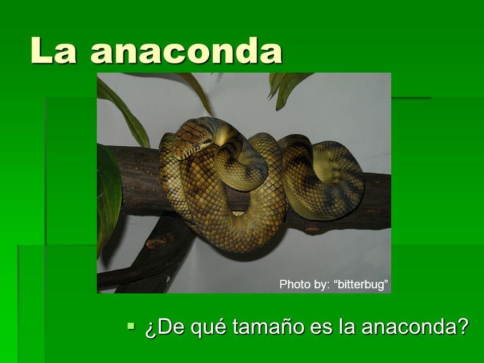 La anaconda ¿De qué tamaño es la anaconda? ¿De qué tamaño es la anaconda? Photo by: bitterbug