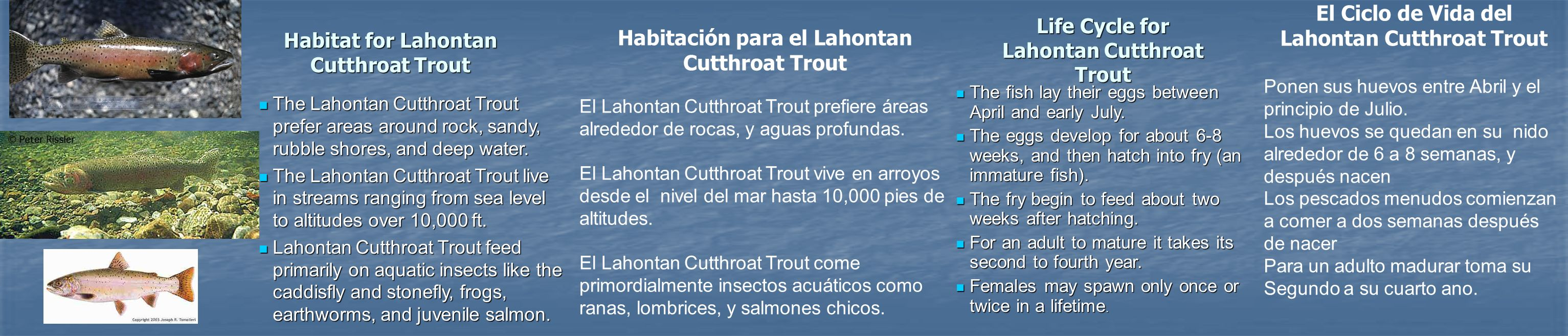 Life Cycle for Lahontan Cutthroat Trout The fish lay their eggs between April and early July. The fish lay their eggs between April and early July. Th