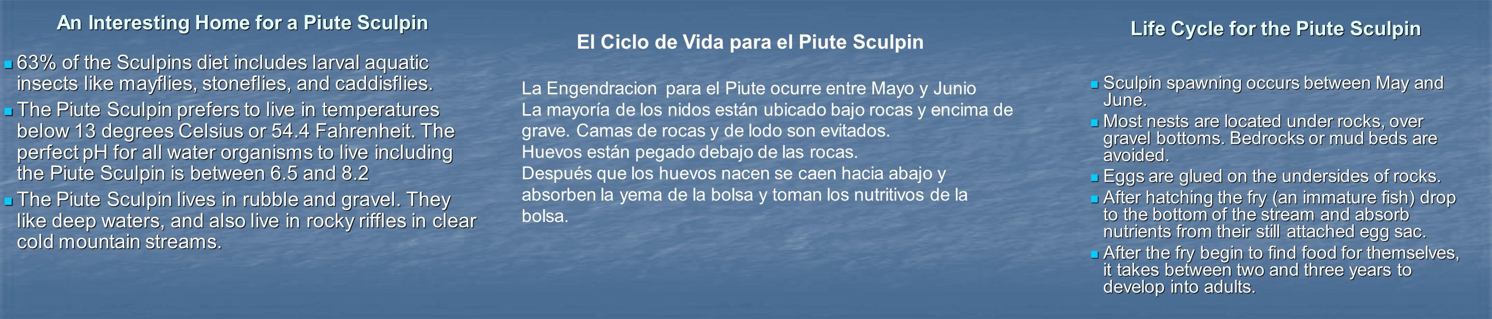 El Ciclo de Vida para el Piute Sculpin La Engendracion para el Piute ocurre entre Mayo y Junio La mayoría de los nidos están ubicado bajo rocas y encima de grave.