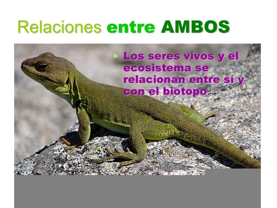 Relaciones entre AMBOS Los seres vivos y el ecosistema se relacionan entre sí y con el biotopo. Los seres vivos y el ecosistema se relacionan entre sí