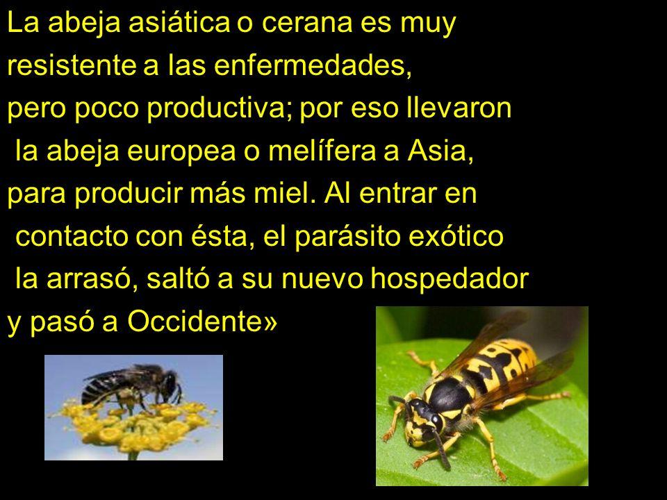 La abeja asiática o cerana es muy resistente a las enfermedades, pero poco productiva; por eso llevaron la abeja europea o melífera a Asia, para produ