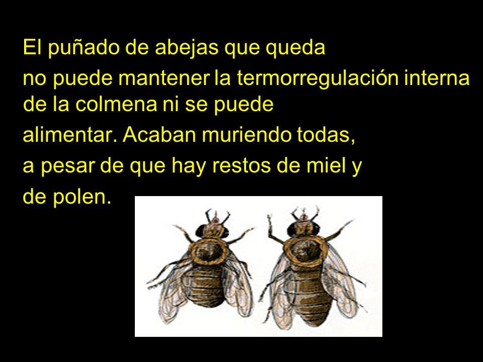 El puñado de abejas que queda no puede mantener la termorregulación interna de la colmena ni se puede alimentar. Acaban muriendo todas, a pesar de que