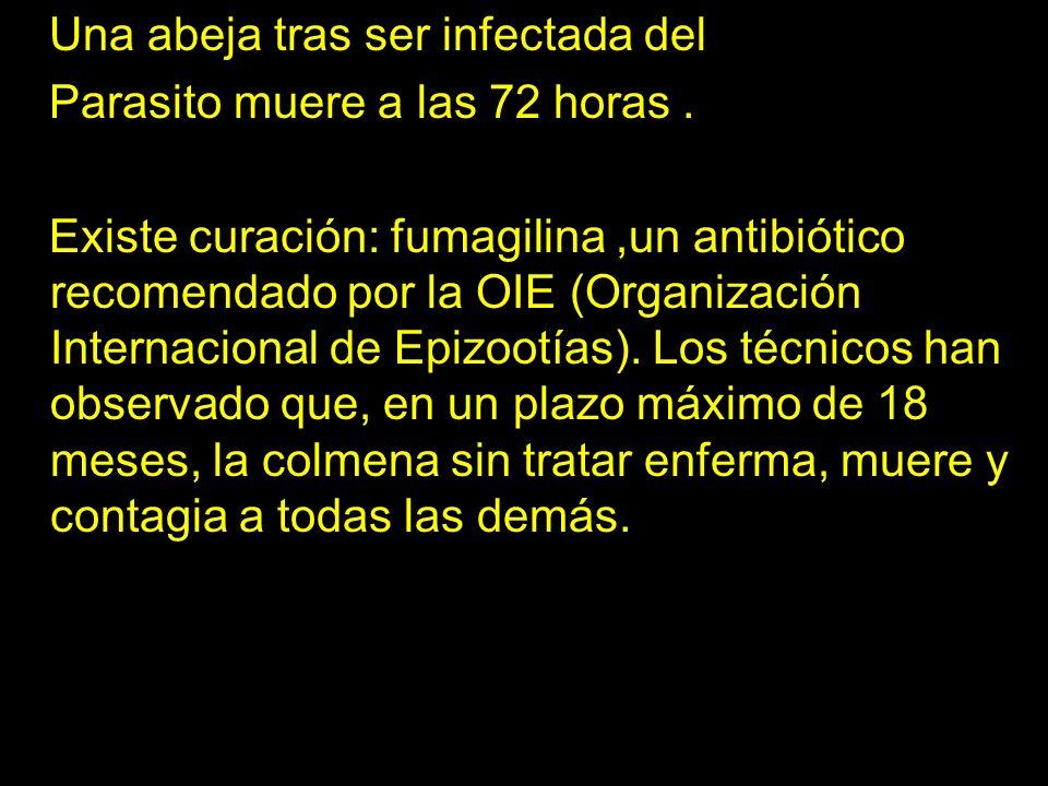 erer Una abeja tras ser infectada del Parasito muere a las 72 horas. Existe curación: fumagilina,un antibiótico recomendado por la OIE (Organización I