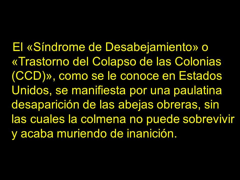 El «Síndrome de Desabejamiento» o «Trastorno del Colapso de las Colonias (CCD)», como se le conoce en Estados Unidos, se manifiesta por una paulatina