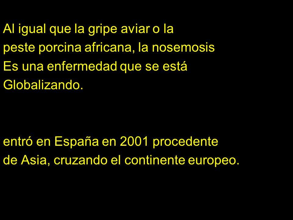 Al igual que la gripe aviar o la peste porcina africana, la nosemosis Es una enfermedad que se está Globalizando. entró en España en 2001 procedente d