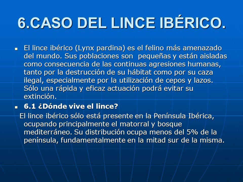 6.CASO DEL LINCE IBÉRICO. El lince ibérico (Lynx pardina) es el felino más amenazado del mundo. Sus poblaciones son pequeñas y están aisladas como con