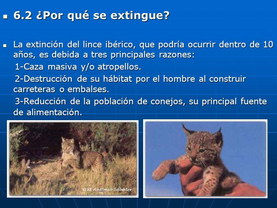 6.2 ¿Por qué se extingue? 6.2 ¿Por qué se extingue? La extinción del lince ibérico, que podría ocurrir dentro de 10 años, es debida a tres principales
