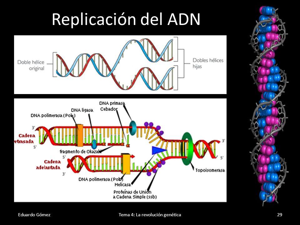 Complementariedad de bases Eduardo GómezTema 4: La revolución genética30 La complementariedad de bases es útil para saber el contenido de bases de un ADN o conocer a partir de una secuencia como será la cadena complementaria: Ejercicio 8 (pag 105): Si un ADN tiene un contenido de C+G del 42%, ¿qué porcentaje habrá de cada una de las bases.
