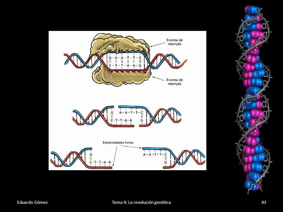 Eduardo GómezTema 4: La revolución genética44