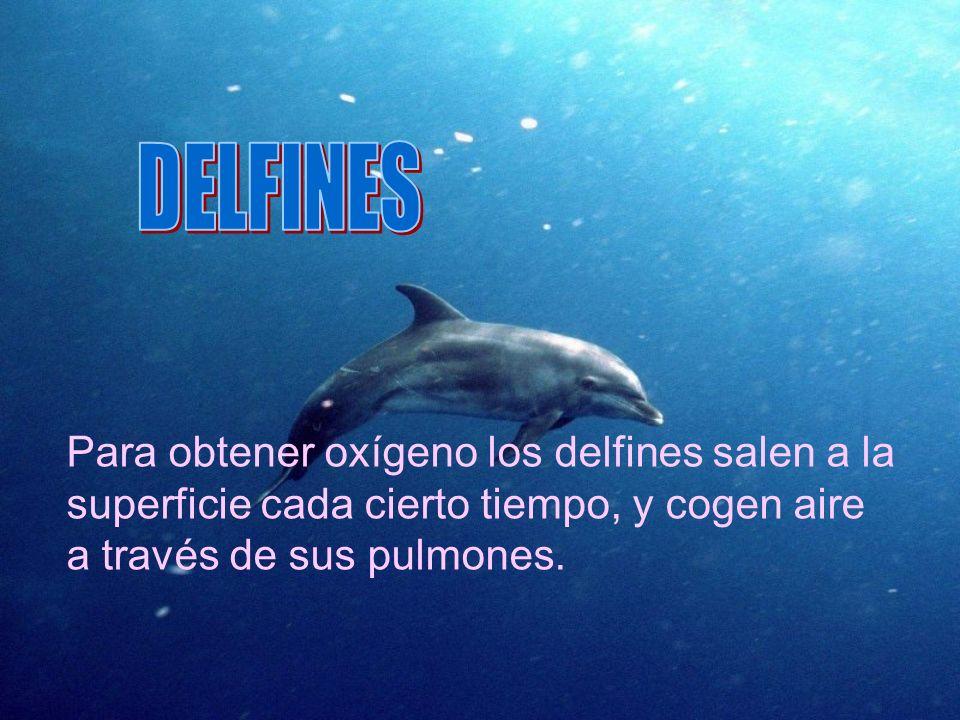 Para obtener oxígeno los delfines salen a la superficie cada cierto tiempo, y cogen aire a través de sus pulmones.
