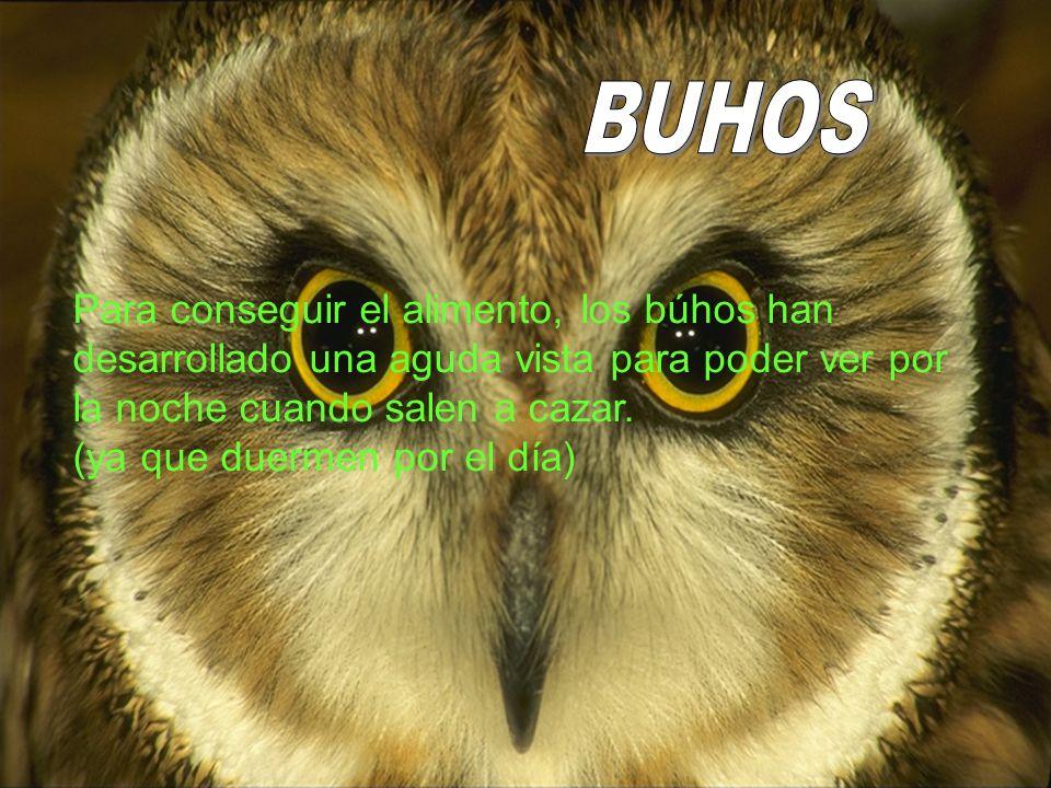 Para conseguir alimento,los búhos han desarrollado una aguda vista, para poder ver al salir por la noche para cazar. (ya que duermen por el día Para c