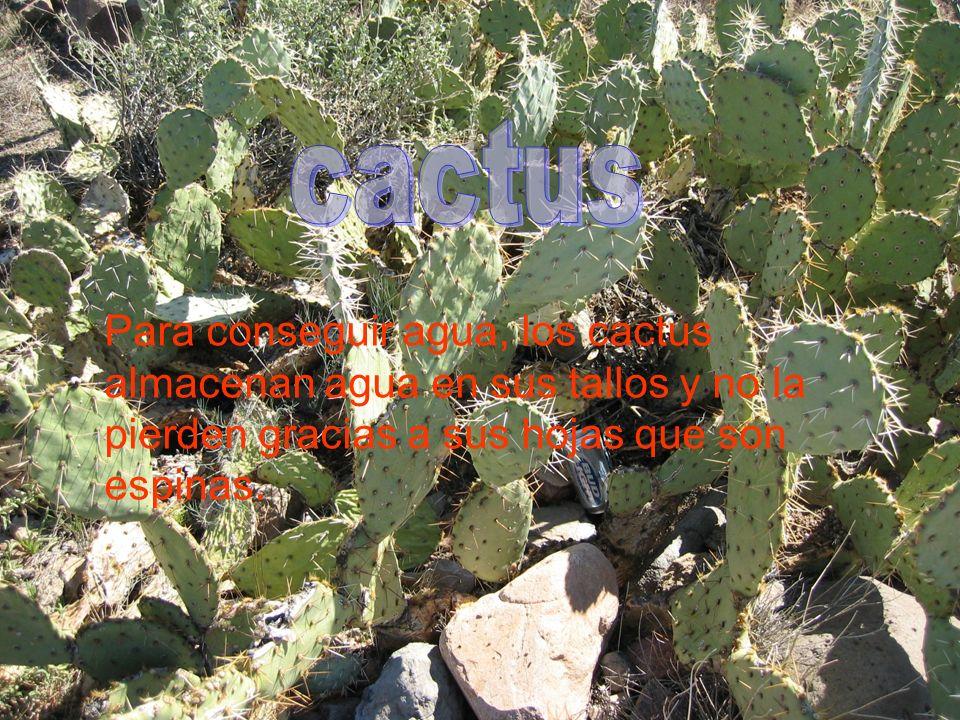 Para conseguir agua, los cactus almacenan agua en sus tallos y no la pierden gracias a sus hojas que son espinas.