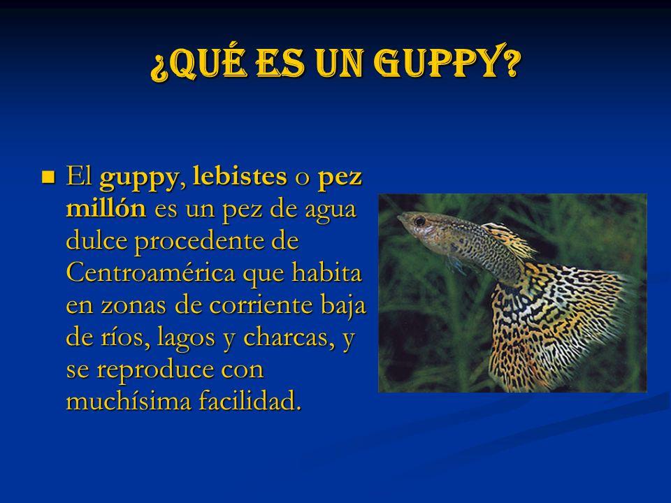 ¿Qué es un guppy.