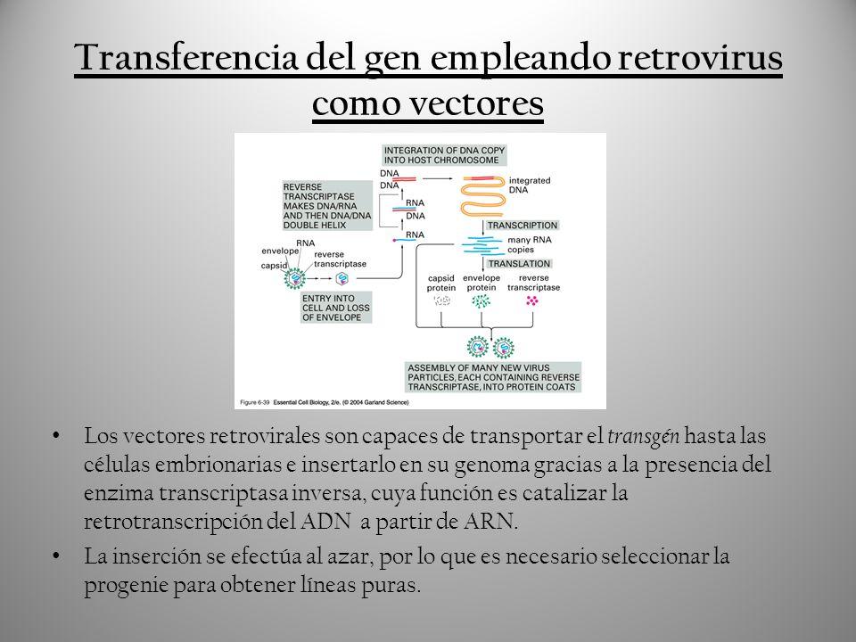 Transformación de células madre embrionarias Este tipo de trangénesis consiste en la modificación de las células madre cultivadas con el transgén deseado.