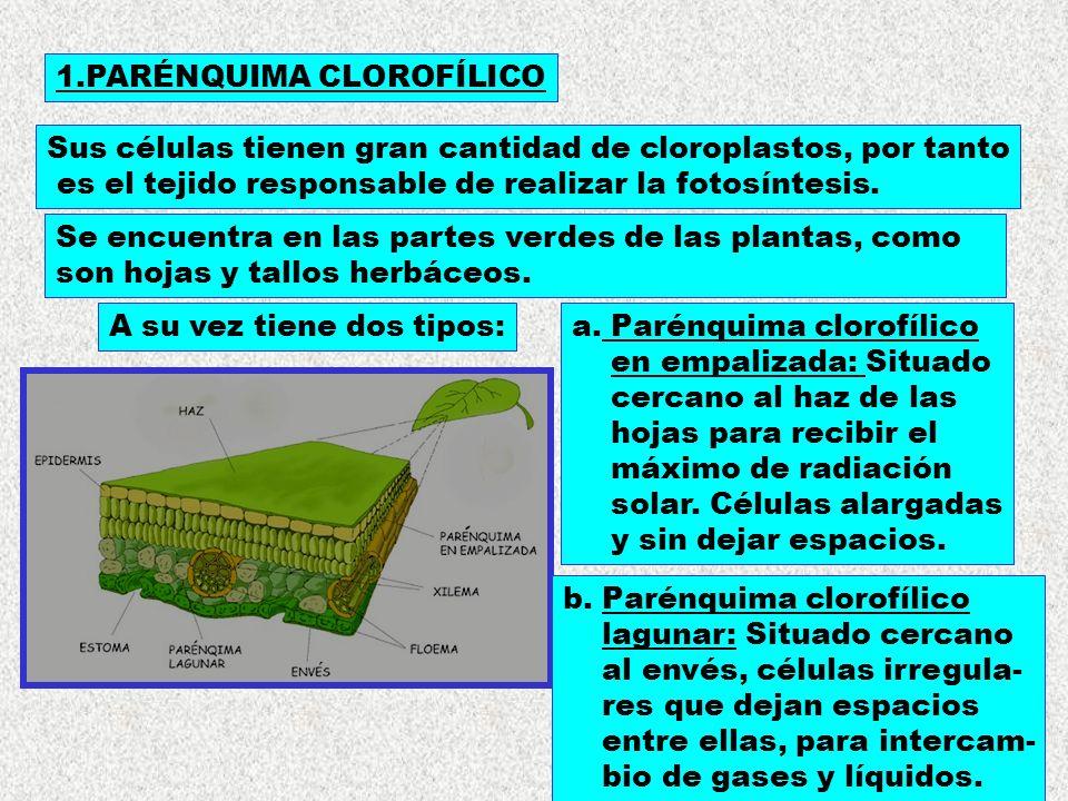 1.PARÉNQUIMA CLOROFÍLICO Sus células tienen gran cantidad de cloroplastos, por tanto es el tejido responsable de realizar la fotosíntesis. Se encuentr