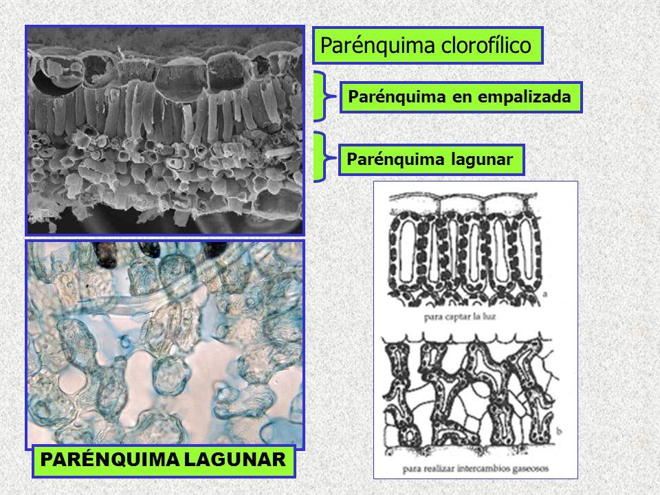 Parénquima en empalizada Parénquima lagunar Parénquima clorofílico PARÉNQUIMA LAGUNAR