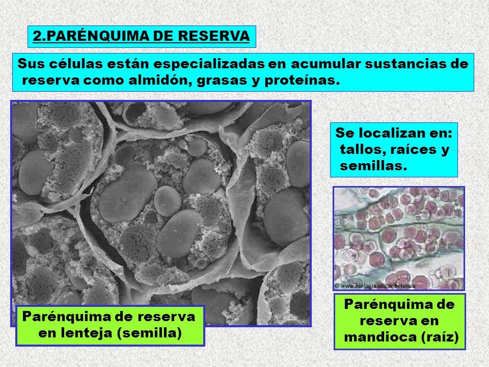 Parénquima de reserva en lenteja (semilla) 2.PARÉNQUIMA DE RESERVA Sus células están especializadas en acumular sustancias de reserva como almidón, gr