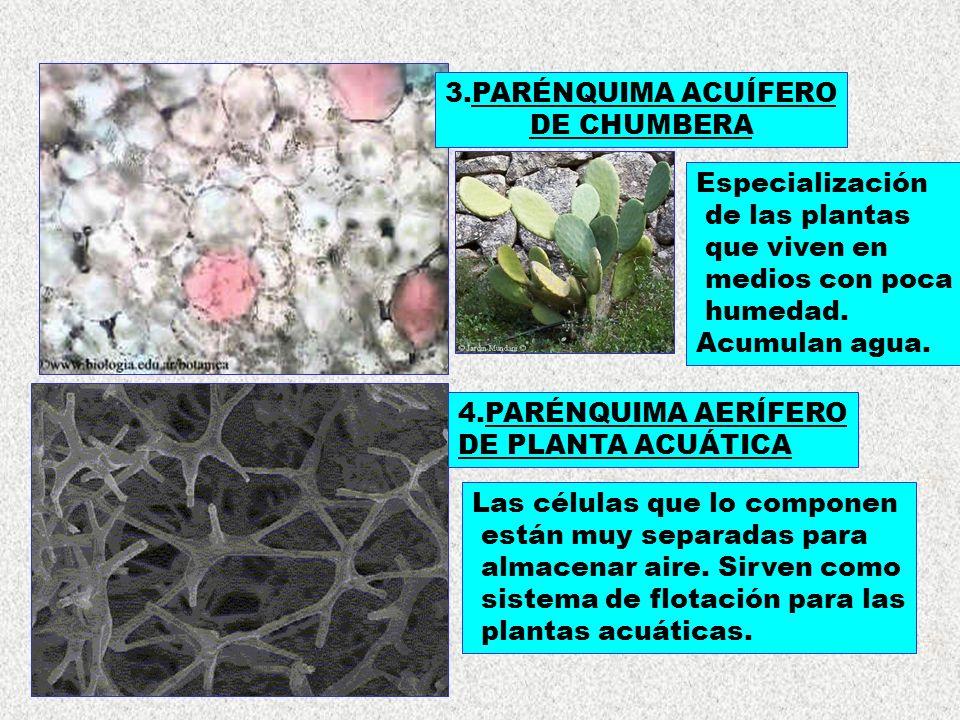 4.PARÉNQUIMA AERÍFERO DE PLANTA ACUÁTICA 3.PARÉNQUIMA ACUÍFERO DE CHUMBERA Especialización de las plantas que viven en medios con poca humedad. Acumul