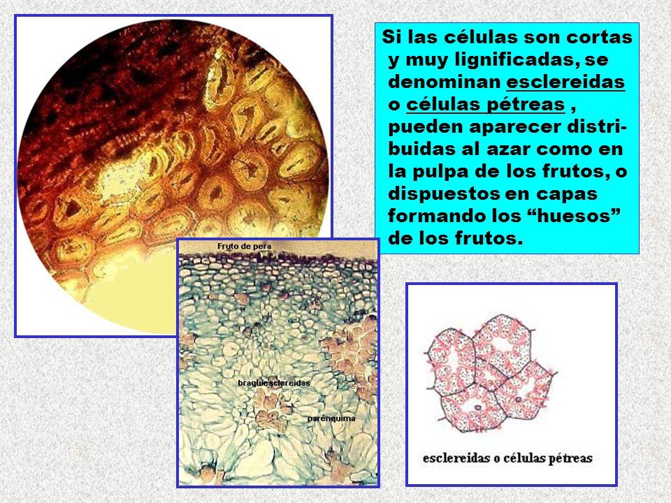 Si las células son cortas y muy lignificadas, se denominan esclereidas o células pétreas, pueden aparecer distri- buidas al azar como en la pulpa de l